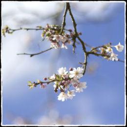 White Blossom, More Blue Sky