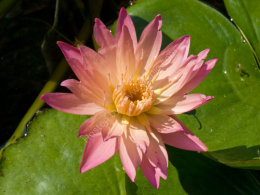 Red Waterlily
