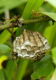Asian Paper Wasps nest