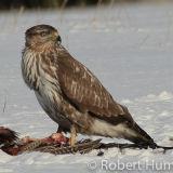 Buzzard Feeding, Aberdeenshire