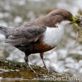 Dipper with nesting material, Aberdeenshire