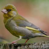 Greenfinch, Aberdeenshire