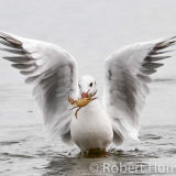 Gull with crab, Aberdeenshire