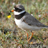 Ringed Plover, Orkney