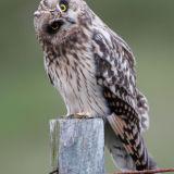 Short Eared Owl (inquisitive), Aberdeenshire