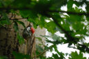 Great spotted woodpecker /Grote bonte specht