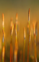 Haircap moss / Ruighaarmos