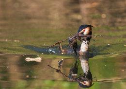 Haubentaucher (Podiceps cristatus)