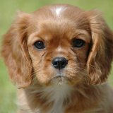 Animal - Dog (Canis lupus familiaris) - A puppy called Brambles