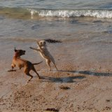 Animal - Dog (Canis lupus familiaris) - Dogfight on the beach