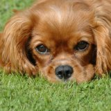Animal - Dog (Canis lupus familiaris) - Nose to the ground