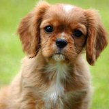 Animal - Dog (Canis lupus familiaris) - Puppy with questioning look