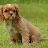 Animal - Dog (Canis lupus familiaris) - Puppy with worried look