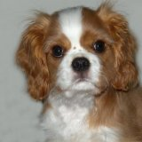 Animal - Dog (Canis lupus familiaris) - Shadow as a puppy