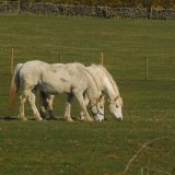 Animal - Horse (Equus ferus caballus) - And leading by a short nostril is ....
