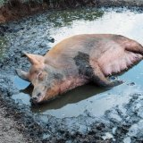 Animal - Pig (Sus scrofa domesticus) - Happiness is ...