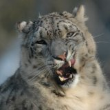 Animal - Snow Leopard (Panthera uncia) - Eyeing up his lunch