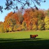 Autumn - Cow and Calf