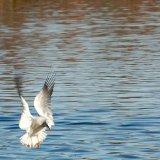 Bird - Common Gull (Larus canus) in winter plumage - Dropping In