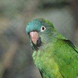Bird - Blue-Crowned Parakeet (Thectocercus acuticaudatus neumanni)