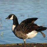 Bird - Canada Goose (Branta canadensis) - Aerobics