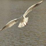 Bird - Common Gull (Larus canus) - On the hunt