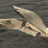 Bird - Common Gull (Larus canus) - The Swoop