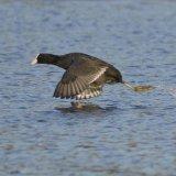 Bird - Coot (Fulica atra) - High Speed Splasher