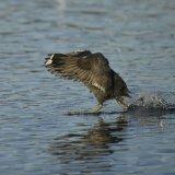 Bird - Coot (Fulica atra) - The Coot Cloak