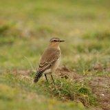 Bird - Dunnock (Prunella modularis)