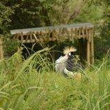 Bird - Grey Crowned Crane (Balearica regulorum) - Crowning Glory