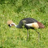 Bird - Grey Crowned Crane (Balearica regulorum) - Searching