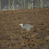 Bird - Grey Heron (Ardea cinerea) - Fishing for worms .....