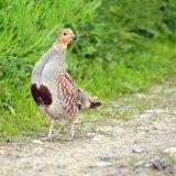 Bird - Grey Partridge (Perdix perdix) - Looking for a Pear Tree