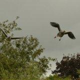 Bird - Greylag Goose (Anser anser) - Heading for Touchdown