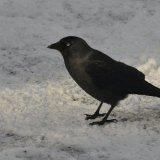 Bird - Jackdaw (Corvus monedula)