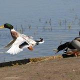 Bird - Mallard Duck (Anas platyrhynchos) - Timely Take Off