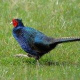 Bird - Melanistic Pheasant (Phasianus colchicus mut. tenebrosus) - Striding Out