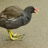 Bird - Moorhen (Gallinula Chloropus) - Calling Out