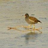 Bird - Moorhen (Gallinula Chloropus) - Ice Hurdle