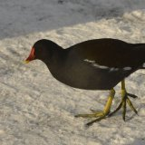 Bird - Moorhen (Gallinula Chloropus) - In the snow