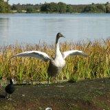 Bird - Mute Swan (Cygnus olor) - Aerobics at Frensham Great Pond, Surrey