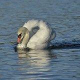 Bird - Mute Swan (Cygnus olor) - Angry Posture