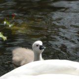Bird - Mute Swan (Cygnus olor) - Cygnet - Mum, wait for me...