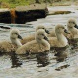 Bird - Mute Swan (Cygnus olor) - Cygnets Five