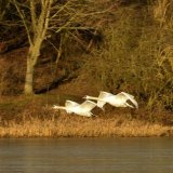 Bird - Mute Swan (Cygnus olor) - Graceful Flypast