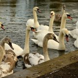 Bird - Mute Swan (Cygnus olor) - Swan Loch