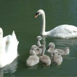Bird - Mute Swan (Cygnus olor) - With five Cygnets on the Basingstoke Canal, Odiham