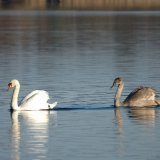 Bird - Mute Swan (Cygnus olor) and Cygnet - On Frensham Great Pond, Surrey