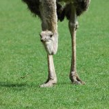 Bird - Ostrich (Struthio camelus) - It's tiring having to bend to get into the photograph